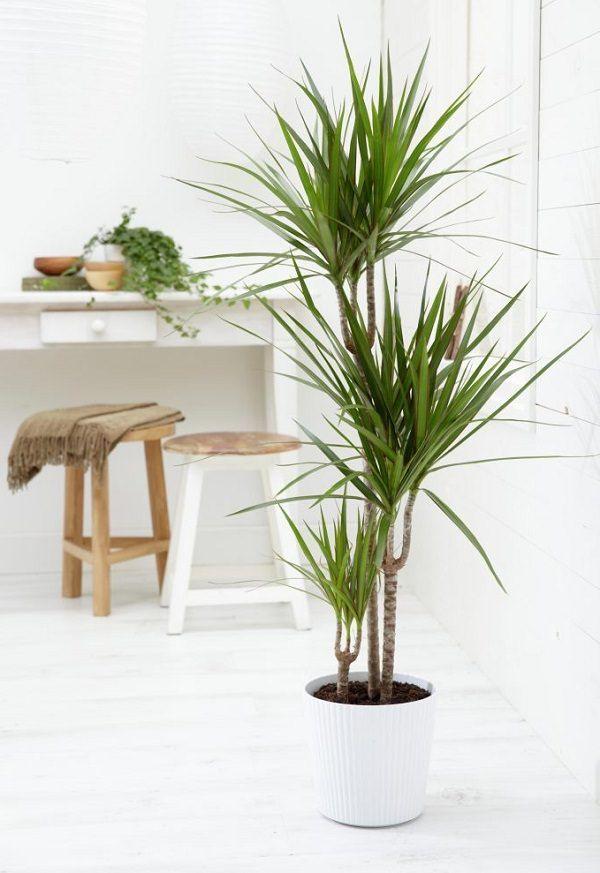 plantadracena