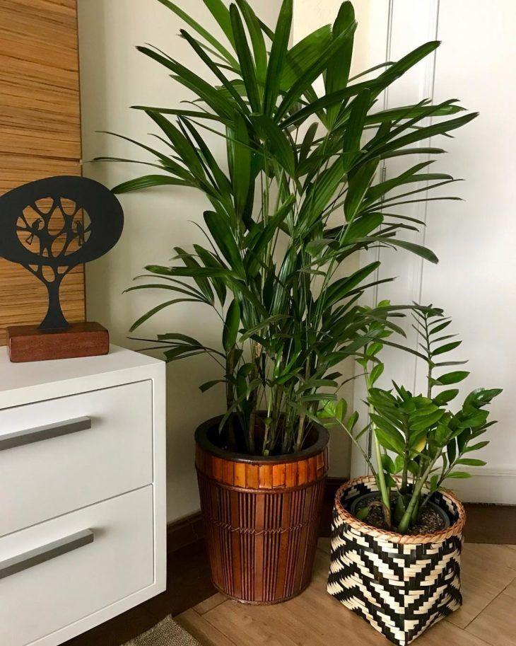 palmeirarafiaplanta